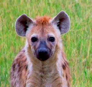 Hyena 1 copy