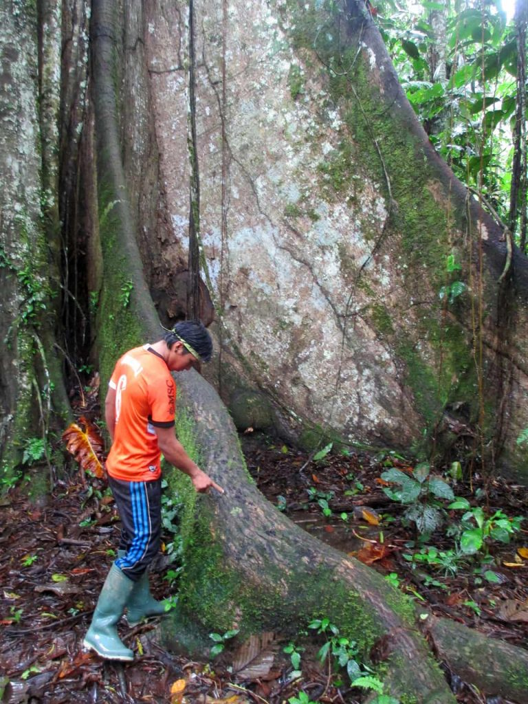 A Waorani guide talks about ancient trees of the Amazon