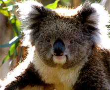 Koala | Big Five Tours