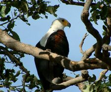 Eagle | Big Five Tours