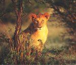 lioness at duskSM