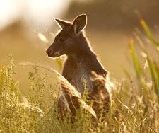 Kangaroo | Big Five Tours