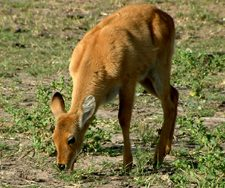 Deer Victoria Falls | Big Five Tours
