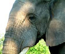 zimb-elephant-thumb