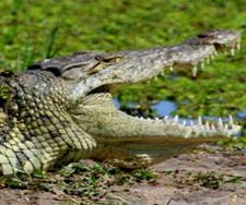 Crocodile | Big Five Tours