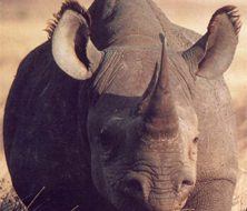 Rhino | Big Five Tours