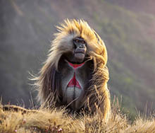 Ethiopia. Semien Mountains. Gelada Baboon | Big Five Tours