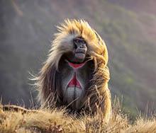 Ethiopia. Semien Mountains. Gelada Baboon | Big Five Tours