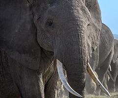 Elephant | Big Five Tours