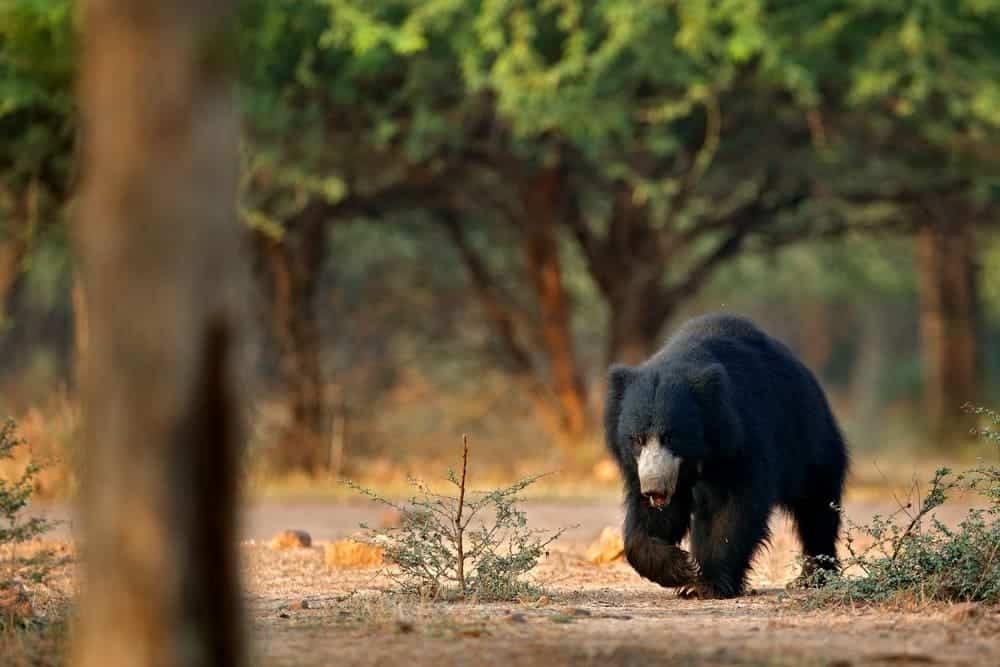 India Bear