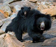 Sloth Bear   Big Five Tours