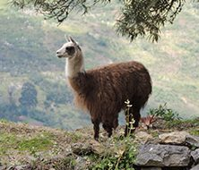 Llama | Big Five Tours