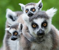 Lemur | Big Five Tours