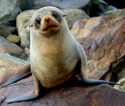 New-Zealand-Fur-Seal-Pup-Thumb